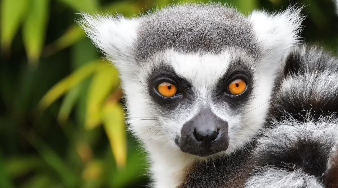 Tijdens Natuurbehoud vrijwilligerswerk in Madagaskar kom je ongetwijfeld een lemur aap tegen.